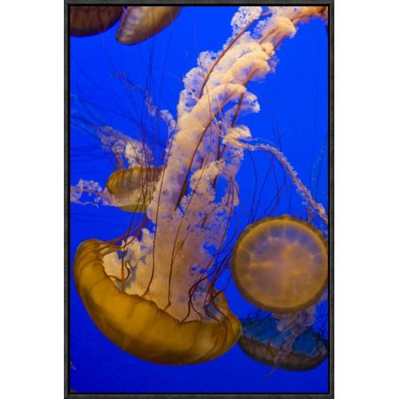 East Urban Home Pacific Sea Nettle Group Framed Photographic Print On Canvas
