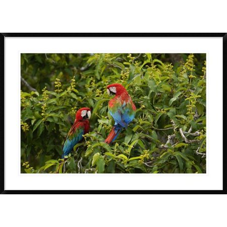 Global Gallery Red And Green Macaw Pair Framed Photographic Print