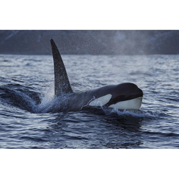 Orca Killer Whale Orcinus Orca Surfacing Senja Troms County Norway Scandinavia January Animals Unframed Photographic Print Wall Art By Widstrand Walmart Com Walmart Com