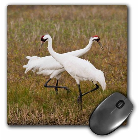 Americana Computer - 3dRose Whooping Crane, Grus americana, pair feeding, Texas, USA - Mouse Pad, 8 by 8-inch
