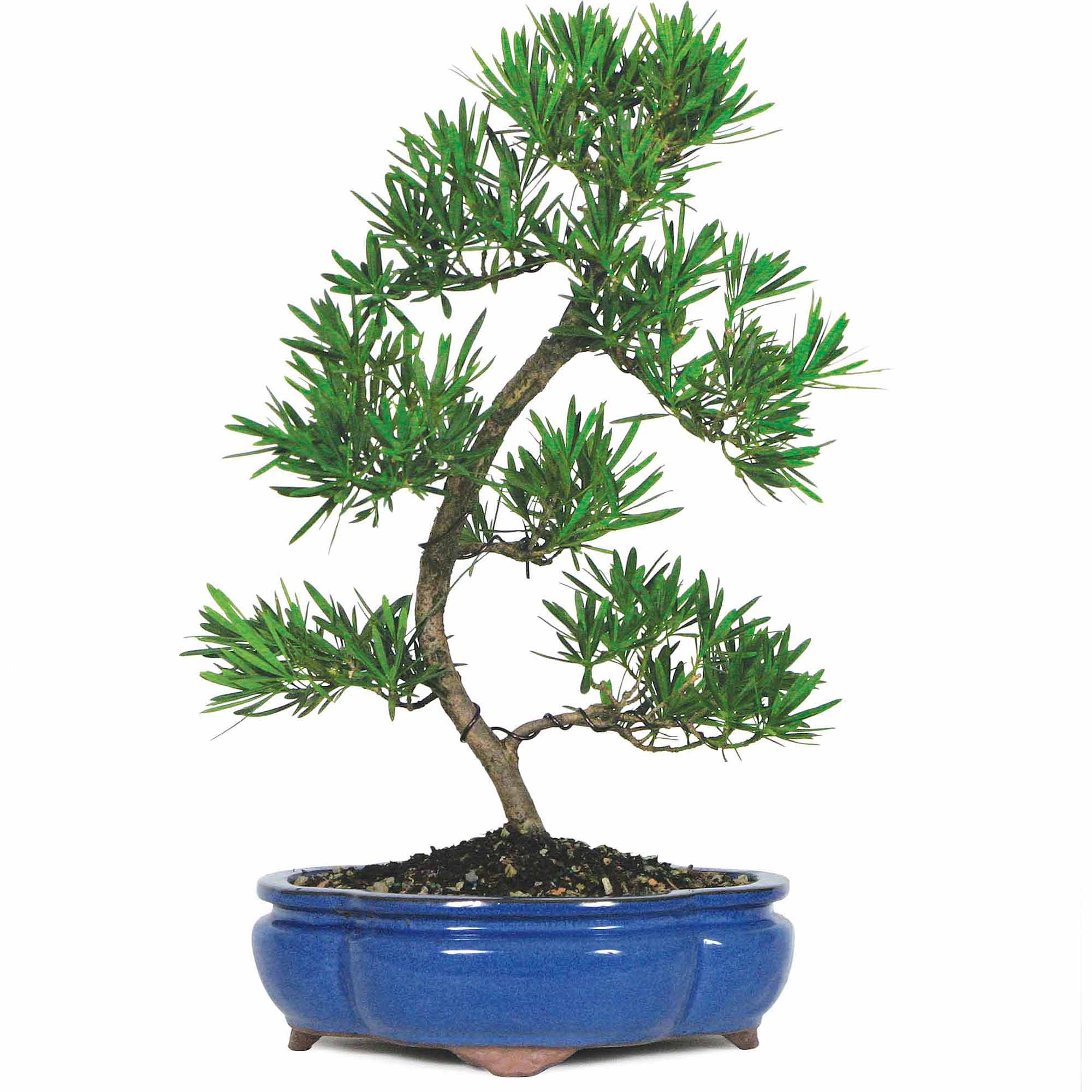 Podocarpus Bonsai Tree by Brussel's Bonsai