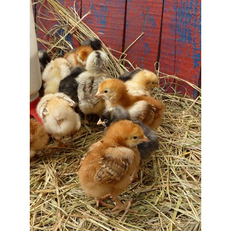 LAMINATED POSTER Chicken Farm Chick Spring Easter Baby Chicks Barn Poster Print 24 x - Spring Barn Farm Halloween