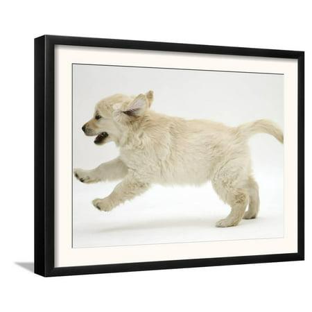 Golden Retriever Puppy, 9 Weeks Old, Running Framed Art Print Wall Art  -