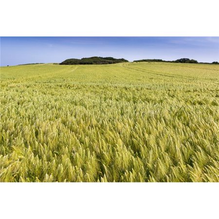 Posterazzi DPI12282561LARGE Wide Angle Image of A Barley Field with Blue Sky - Brittany France Poster Print - 38 x 24 in. - Large - image 1 of 1