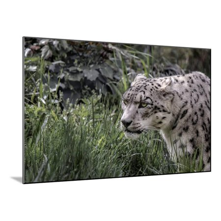 Nyc Central Park Zoo (Snow Leopard Staring and Waiting in the Central Park Zoo in NYC Wood Mounted Print Wall)