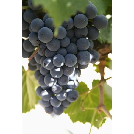 Malbec grapes on the vine in the vineyard of Bodega El Esteco winery Cafayate Salta Argentina
