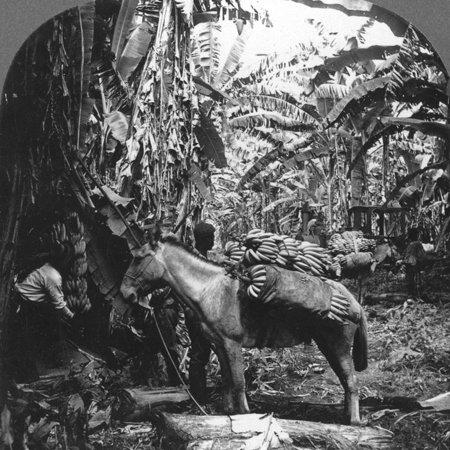 Harvesting Bananas, Costa Rica, 1909 Print Wall (Costa Rica Banana)