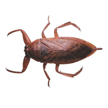 Laminated Poster Giant Water Bug Insect Creepy Crawlers Roach Poster Print 24 x 36