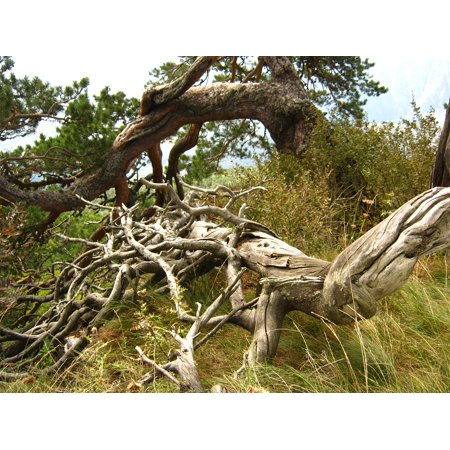 LAMINATED POSTER Tree Roots Pine Poster Print 24 x 36