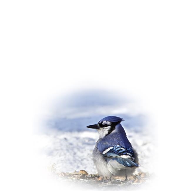 Blue Jay Poster Print by Richard Wear, 22 x 34 - Large - image 1 de 1