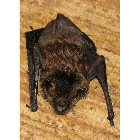Wall Myotis Lucifugus Little Brown Bat