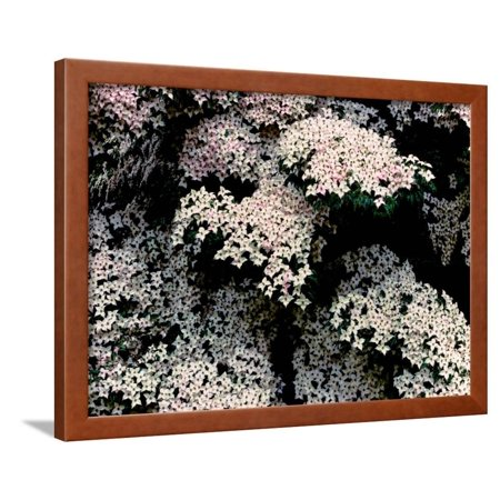 Kousa dogwood in bloom, United States National Arboretum, Washington DC, USA Framed Print Wall Art