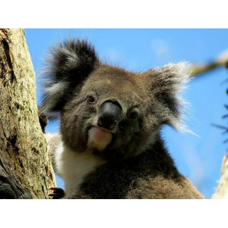 Framed Art for Your Wall Australia Koala Animal 10x13 (Cool Frames Australia)