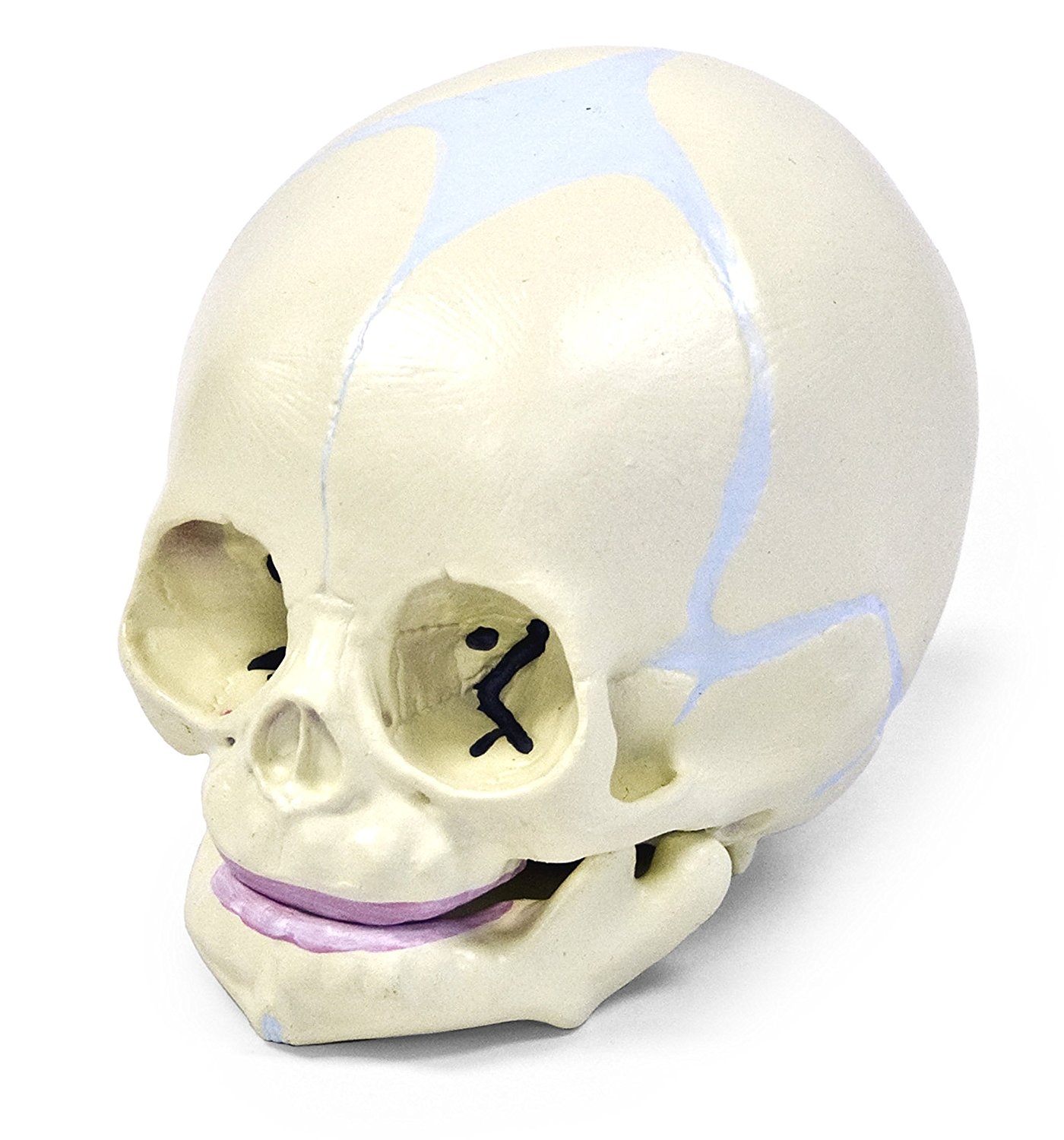 Vision Scientific Human Fetal Skull