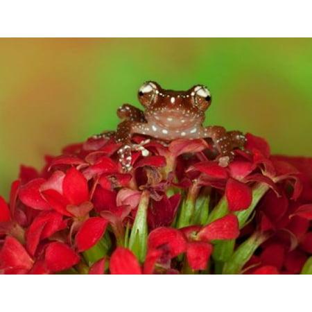 Borneo Cinnamon Tree Frog on red flowers Stretched Canvas - Jaynes Gallery  DanitaDelimont (22 x - Cinnamon Flowers