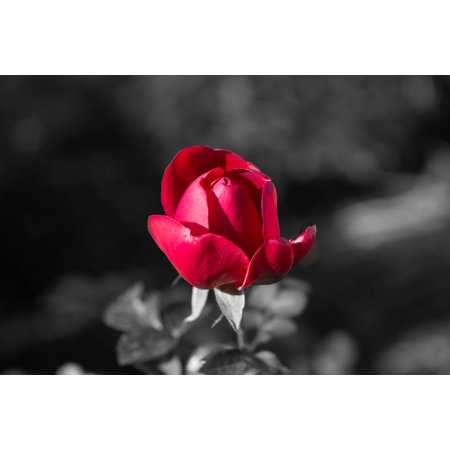 LAMINATED POSTER Color Key Red Flower Black and White Nature Rose Poster Print 11 x 17 ()