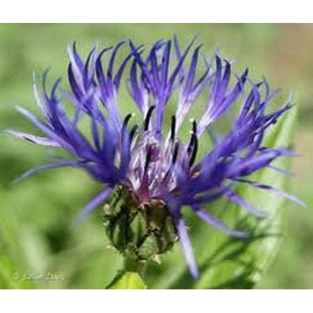 The Dirty Gardener Centaurea Montana Cornflower Bachelors Button Flowers - .25 Pounds