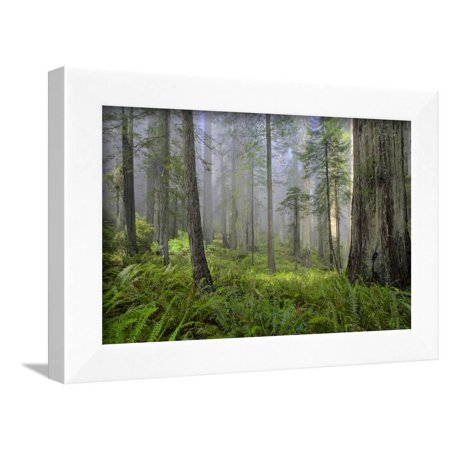 - Redwood Trees in Morning Fog with Sunrays Framed Print Wall Art By Terry Eggers