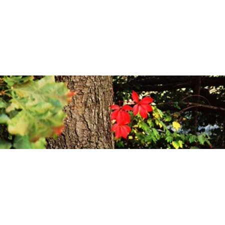 Maple leaves on trees Tolland County Connecticut USA Canvas Art - Panoramic Images (18 x 6)
