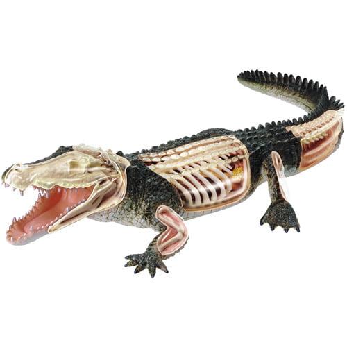Crocodile Anatomy Model