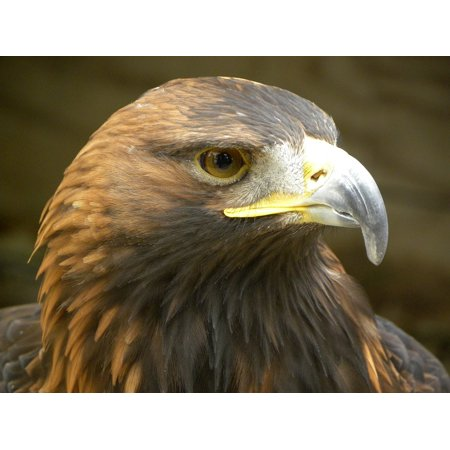 LAMINATED POSTER Focus Raptor Golden Eagle Eagle Bird Of Prey Poster Print 24 x -