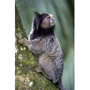 Black-Tufted Marmoset Journal: 150 Page Lined Notebook/Diary