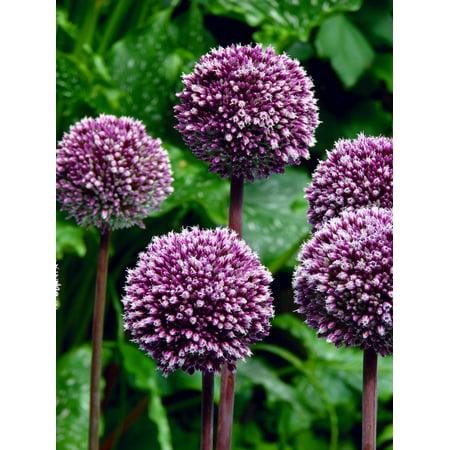 Summer Flowering Bulbs (Summer Drummer Flowering Onion Allium 2 Bulbs - 12/+ cm -)