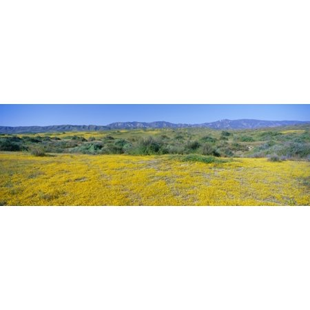 Panoramic View Of Desert Gold Yellow Flowers In Carrizo Plain National Monument San Luis Obispo County California Canvas Art   Panoramic Images  27 X 9