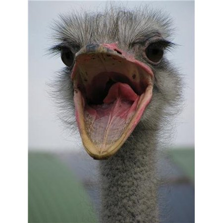 Laminated Poster Ostrich Glossy Poster Large Bird Emu Feathers Flightless Cool Poster Print 24 x 36