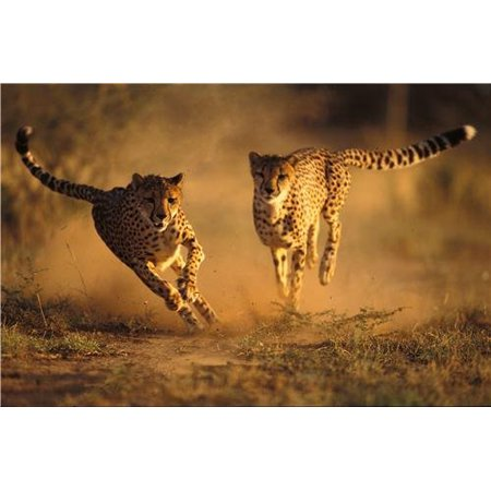 Laminated Poster Cool Cheetahs Glossy Poster Fast S Wild Animal Poster Print 24 x 36