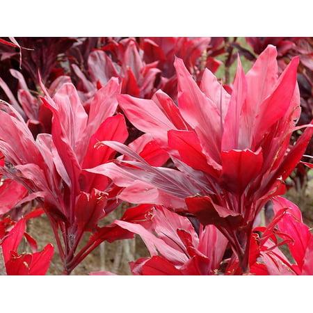 - HAWAIIAN RED TI LEAF PLANT 2 LOGS ~ GROW HAWAII