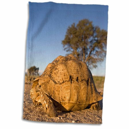 3dRose South Africa, Leopard Tortoise, Kalahari Desert-AF42 PSO0222 - Paul Souders - Towel, 15 by 22-inch - Paul Frank Towel