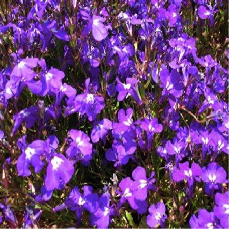 Heirloom Flower Bulbs - Lobelia 'Crystal Palace Blue' (Lobelia Erinus L.) Flower Plant Seeds, Annual Heirloom