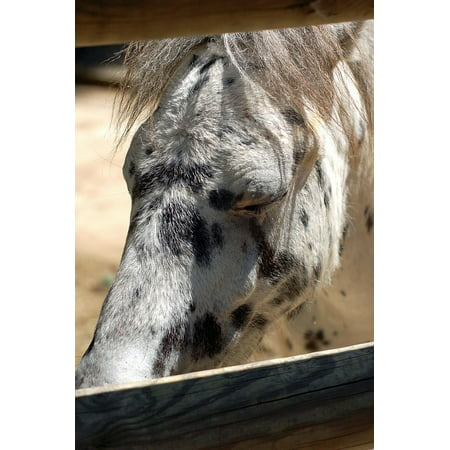 LAMINATED POSTER Sunlight Spotted Horse White Black Fence Animal Poster Print 24 x 36
