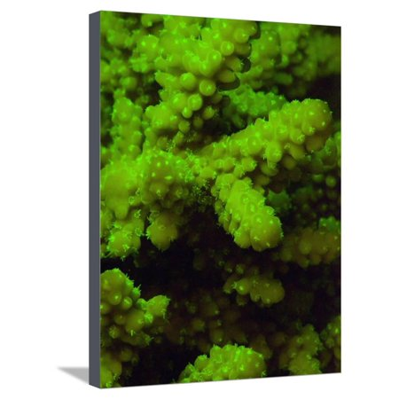 Acropora Coral and its Polyps Fluorescing Green When Excited by Blue Light Stretched Canvas Print Wall Art By Louise -