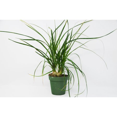 House Plant Guide (Palm Ponytail / 4