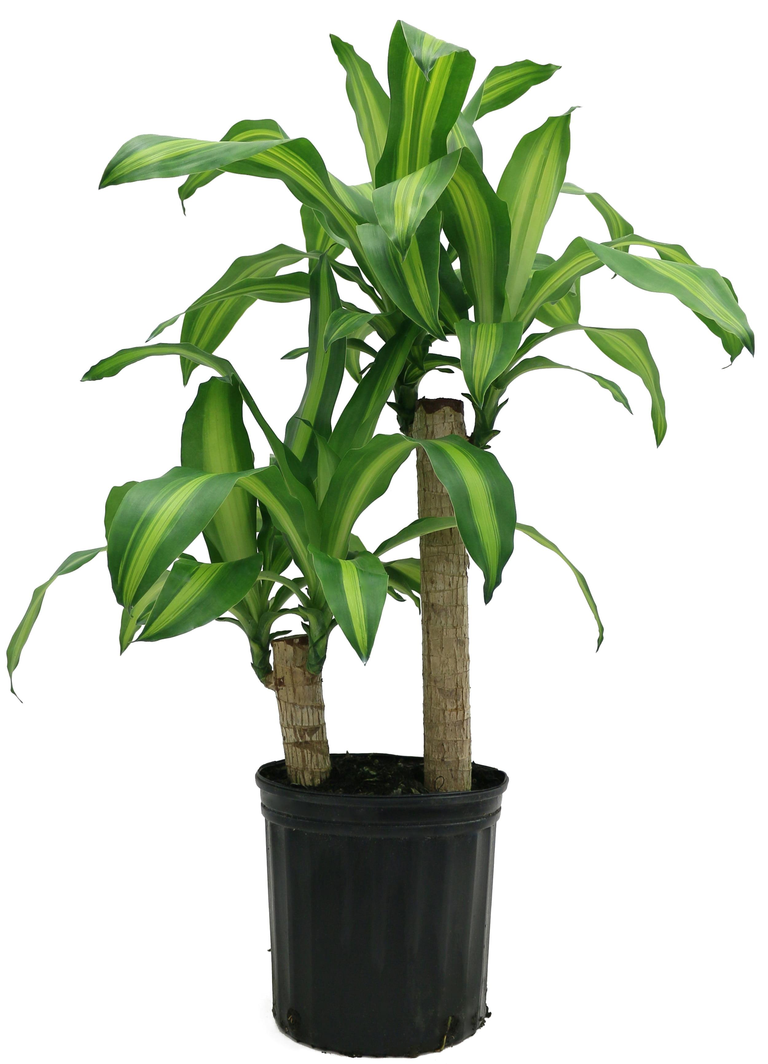 Delray Plants M Cane Dracaena