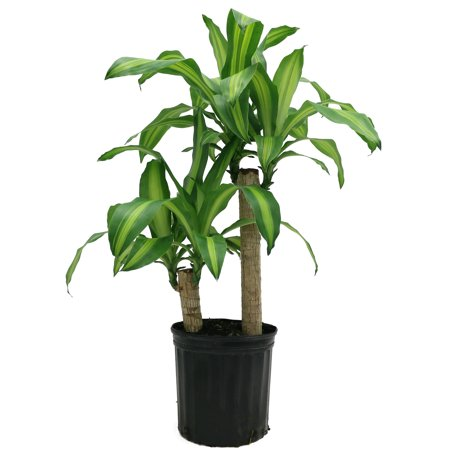 Delray Plants Mass Cane (Dracaena fragrans) Corn Plant Easy to Grow Live House Plant, 10-inch Grower's (10 Best House Plants)