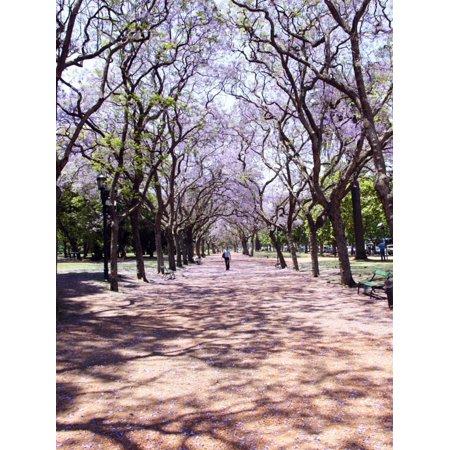 Jacarandas Trees Bloom in City Parks, Parque 3 de Febrero, Palermo, Buenos Aires, Argentina Print Wall Art By Michele Molinari](Bloons City)