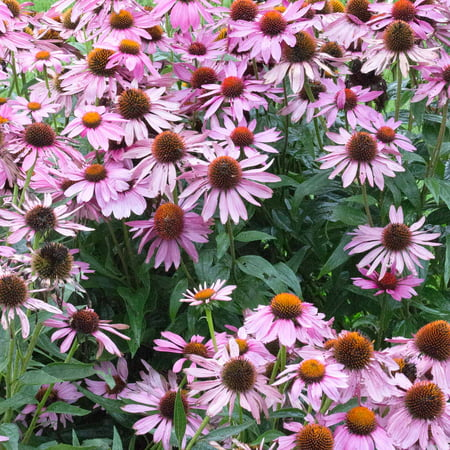 Bravado echinacea flower garden seeds purple coneflower 1000 bravado echinacea flower garden seeds purple coneflower 1000 seeds perennial flower gardening mightylinksfo
