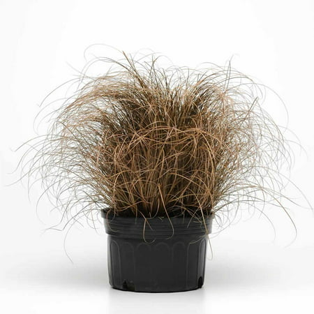 Carex Bronco Ornamental Grass Seeds - 100 Seeds - Decorative Grasses - Carex tenuisecta by Mountain Valley Seeds