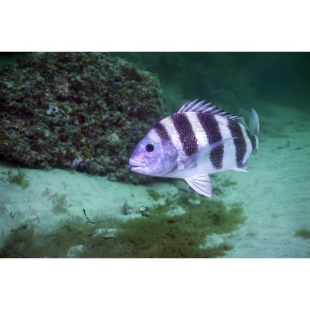 A large Sheepshead cruising the bottom of the rock jetty about 60 feet deep in the channel of St Andrew Bay leading to the Gulf of Mexico in Panama City Beach Florida Poster
