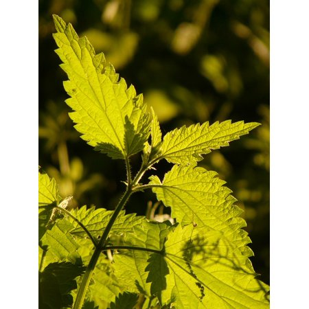 - Peel-n-Stick Poster of Light Green Plant Illuminate Stinging Nettle SunPoster 24x16 Adhesive Sticker Poster Print