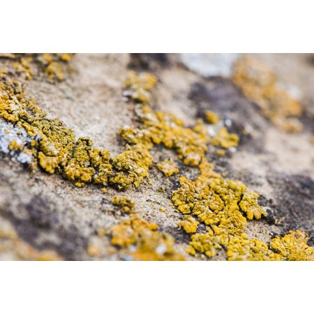 Lichen Natural (Canvas Print Natural Lichen Life Yellow Macro Stretched Canvas 10 x)