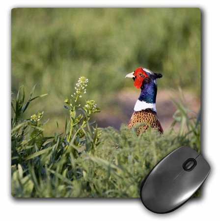 3dRose Male pheasant bird through cover near Moiese Montana - US27 CHA0841 - Chuck Haney, Mouse Pad, 8 by 8 inches