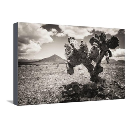 ¡Viva Mexico! B&W Collection - Cactus in the Mexican Desert II Stretched Canvas Print Wall Art By Philippe Hugonnard