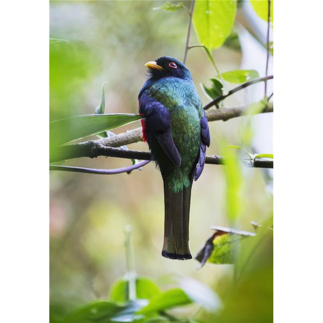 Posterazzi DPI12272912LARGE Masked Trogon Trogon Personatus in The Cloud-Forest Mindo Pichincha Ecuador Poster Print - 26 x 36 in. - Large - image 1 de 1