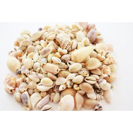 Bulk 1 Lb (400) Genuine Beach Roller Shell Mix Aquarium Beach Fish Tank Natural Decor