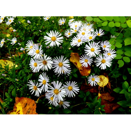LAMINATED POSTER White Mov Daisy Plants Meadow Flowers Stars Poster Print 24 x 36