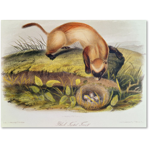 "Trademark Fine Art ""Black-Footed Ferret"" Canvas Art by John James Audubon"